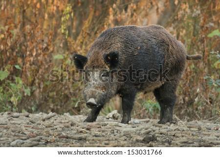 Wild boar walks on forest