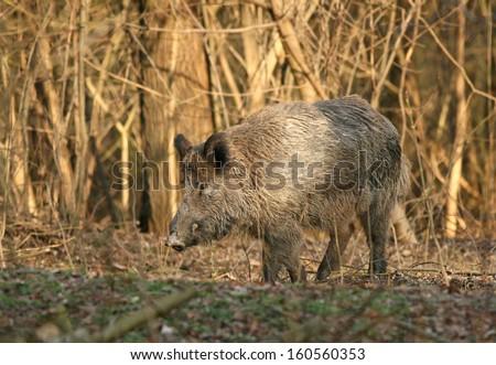 Wild boar walks on meadow