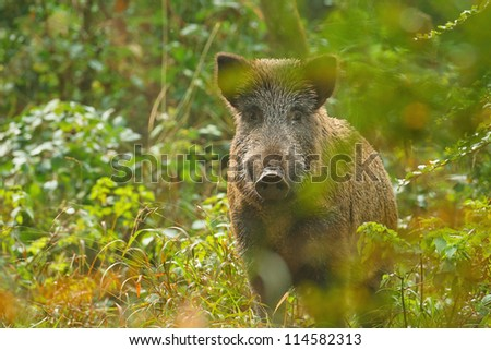 Wild boar watching through the trees right at the camera.