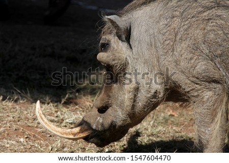 Wild boar wild pig feeds on a safari in South Africa. jungle in africa #1547604470
