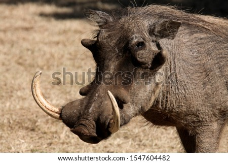 Wild boar wild pig feeds on a safari in South Africa. jungle in africa #1547604482