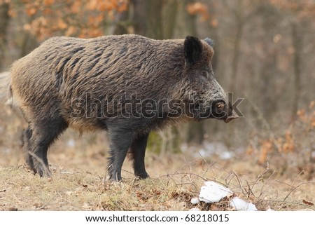 Wild boar with tusks 3.