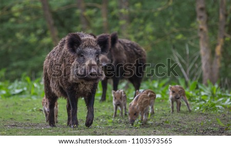 Wild Boar with young #1103593565