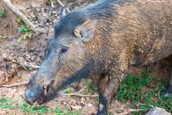 Wild boar. Yala National Park. Sri Lanka.
