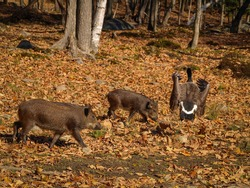 Wild Boars Chasing A Canada Goose