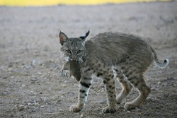 Wild bobcat catches rat and plays with the rat