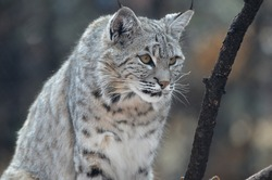 Wild bobcat with pointed ear tips.