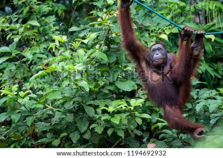 Wild Bornean orangutan (Pongo pygmaeus) at Semenggoh Nature Reserve in Kuching, Borneo, Malaysia.