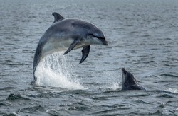 Wild Bottlenose Dolphins Jumping Out Of Ocean Water At The Moray Firth Near Inverness In Scotland