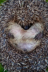 Wild British Hedgehog released out into the wild in woodland endangered species conservation