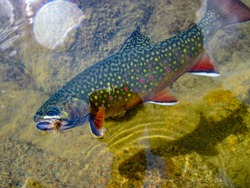 Wild brook trout caught and released in Anthony Lake, Oregon