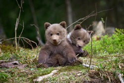 Wild brown bear cub closeup in summer forest