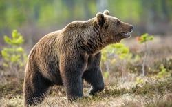 Wild Brown bear  in the summer forest. Scientific name: Ursus Arctos.