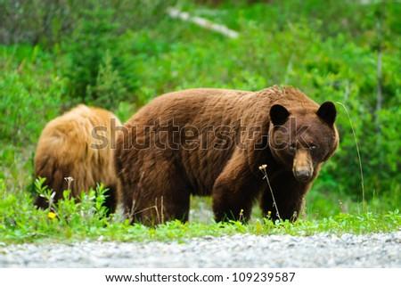 Wild Brown Bears in Kananaskis Country Alberta Canada