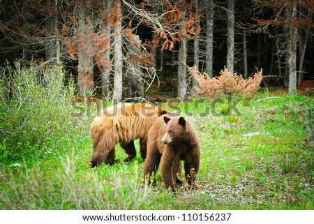 Wild Brown Bears in Kananaskis Country Alberta Canada