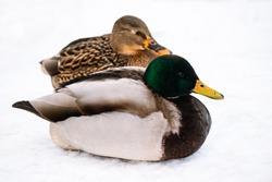 Wild brown duck in winter. Hunting for mallards. Bird watching.