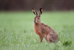 Wild brown hare with big ears sitting in a grass