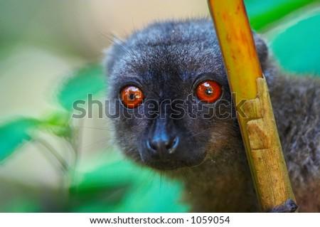 Wild brown lemur, Madagascar