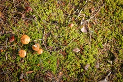 Wild brown mushrooms in a wet autumn coniferous forest.  Natural forest background.