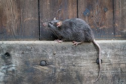 wild brown norway rat, rattus norvegicus, sitting on a board in a wooden wall