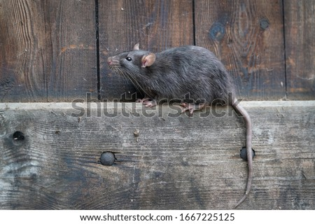wild brown norway rat, rattus norvegicus, sitting on a board in a wooden wall Foto d'archivio ©