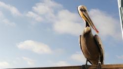Wild brown pelican on wooden pier railing, Oceanside boardwalk, California ocean beach, USA wildlife. Gray pelecanus by sea water. Big bird in freedom close up and blue sky. Large bill beak. Low angle