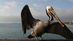 Wild brown pelican on wooden pier railing, Oceanside boardwalk, California ocean beach, USA wildlife. Gray pelecanus by sea water. Close up of coastal big bird in freedom and seascape. Large bill beak