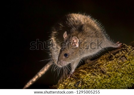Wild Brown rat (Rattus norvegicus) turning on log at night. High speed photography image