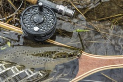Wild brown trout caught fly fishing.
