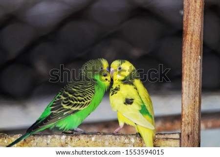 Wild budgerigars average 18 cm (7 in) long, weigh 30–40 grams (1.1–1.4 oz), 30 cm (12 in) in wingspan, and display a light green body colour (abdomen and rumps), while their mantles #1553594015
