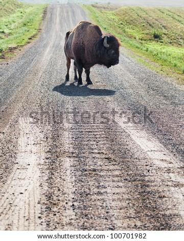 Wild buffalo blocking the road