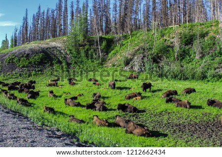 Wild buffalo herd on the side of a gravel road in northern Alberta - Wide angle picture from the very remote area of High Level, Alberta