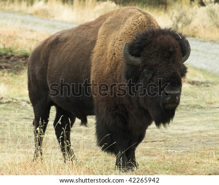 Wild Buffalo.  Image taken during a vacation trip to Wyoming.