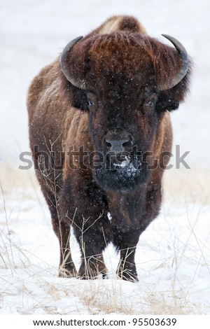 Wild buffalo in winter