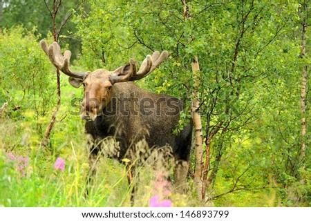 Wild Bull Moose in autumn,