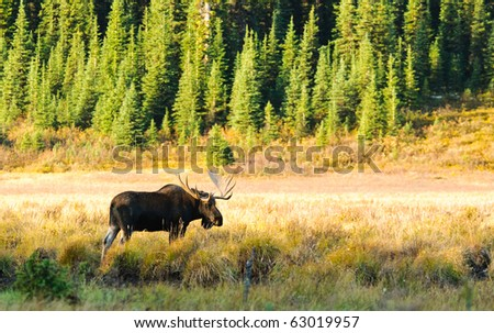 Wild Bull Moose in autumn, Spray Valley Provincial Park in Kananaskis Country Alberta Canada