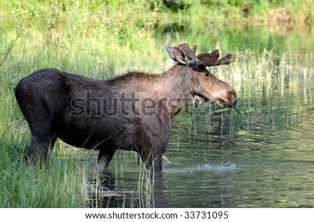 Wild bull moose stepping into a swampy lake in the Glacier National Park in Montana, northwestern USA.