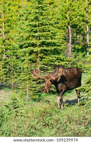 Wild Bull Moose with velvet antlers, Kananaskis Country Alberta, Canada