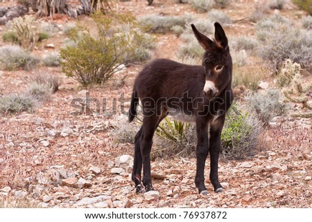 Wild Burro Donkey Foal in Nevada Desert