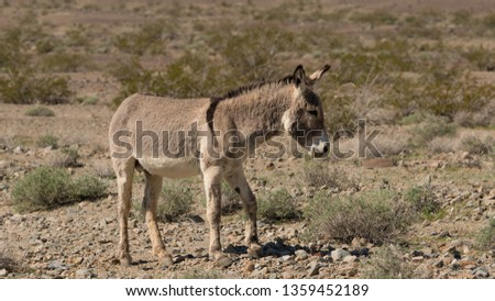 wild burros eating in the Mojave desert. they have become a pest for the parks, but I think they are cute. #1359452189