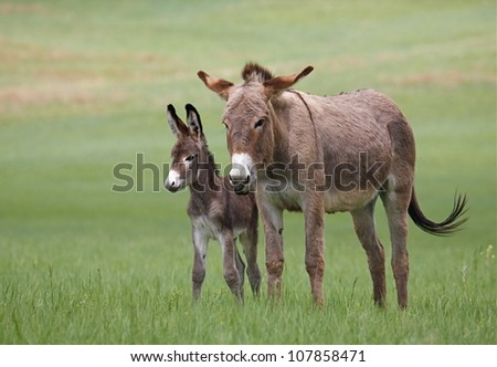 Wild Burros, mother and baby, in Custer State Park, horizontal