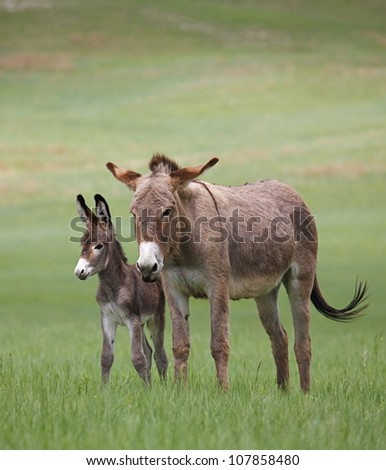 Wild Burros, mother and baby, in Custer State Park, vertical