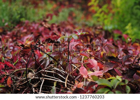 wild bush.the wild bush grows.autumn leaf #1237760203