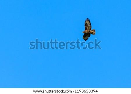 Wild buzzard hunting