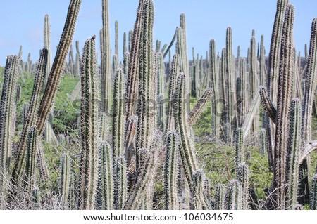 Wild Cactus field
