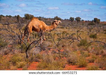 wild camel in the australian outback