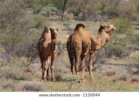 wild camels