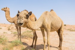 wild camels in the hot dry middle eastern desert uae with blue sky