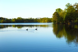 Wild canadian geese swimming in a pond