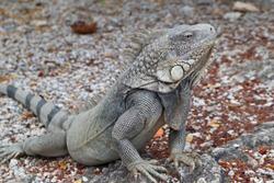 Wild Caribbean Iguana in Bonaire
